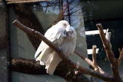 有两只白色的美冠鹦鹉恋人争吵 库存照片