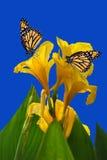 有两只黑脉金斑蝶的Canna Midas国王 免版税库存照片
