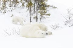 有两崽的北极熊母亲 图库摄影