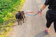 有两条髯狗狗的人在皮带 免版税图库摄影