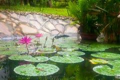 有两桃红色荷花和热带水生pla的自然池塘 库存图片