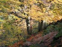 有两棵古老树的被日光照射了山毛榉森林在秋天森林地 免版税库存照片