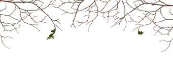 有两片老叶子的干燥枝杈 免版税库存图片