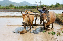 有两水牛的农夫在米领域 库存图片