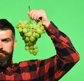 有严肃的面孔的种葡萄并酿酒的人拿着白葡萄群 免版税库存照片