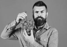 有严肃的面孔的种葡萄并酿酒的人拿着葡萄 库存图片