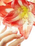 有举行温暖的宏指令的桃红色Ombre设计修指甲的秀丽精美手红色花孤挺花关闭 免版税库存图片
