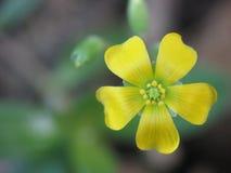 有五个瓣的黄色花 库存照片