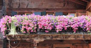 有五颜六色的喇叭花的老木阳台 图库摄影