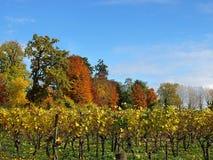 有五颜六色的树的美丽的葡萄园在秋天 免版税库存图片