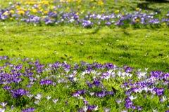 有五颜六色的番红花绽放的草坪 免版税库存照片