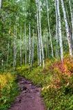 有五颜六色的草丛的亚斯本树丛 库存照片