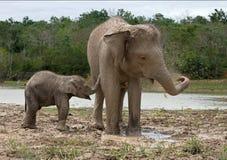 有亚洲大象的妈咪的婴孩 印度尼西亚 苏门答腊 方式Kambas国家公园 免版税库存图片
