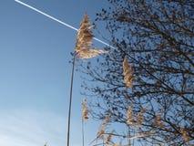 有些芦苇和一棵树在蓝天前面 免版税库存照片