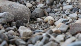 有些蚂蚁攻击和咬住一条无防御的飞行蛆 影视素材