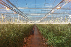 有人为成长光的现代荷兰tomatoe温室 免版税库存图片