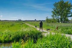有他的护羊狗和绵羊的一位牧羊人在领域的一好日子接近鹿特丹,荷兰 库存照片
