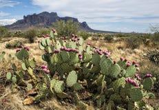 有仙人掌花的亚利桑那沙漠 库存图片