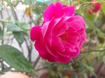 有优质的美妙的桃红色罗斯 免版税图库摄影