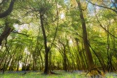 有会开蓝色钟形花的草地毯的森林地 库存图片