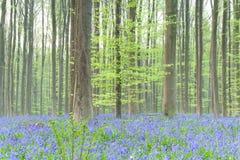 有会开蓝色钟形花的草的春天森林 免版税库存图片