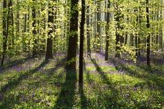 有会开蓝色钟形花的草花的春天森林 库存图片