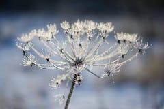有伞状花植物母牛欧洲防风草在霜霜的冬天 免版税库存照片