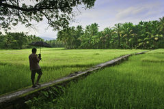 有伞的人走通过绿色稻田的 免版税库存图片