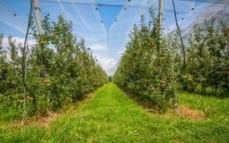 有保护网的苹果树 梅拉诺,意大利 库存图片