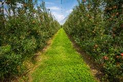 有保护网的苹果树 梅拉诺,意大利 免版税库存图片
