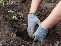 有做种植的旧布灰色手套的手一个孔在庭院 免版税库存照片