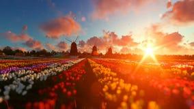 有充满活力的郁金香的传统荷兰风车在日落的前景,批评 影视素材