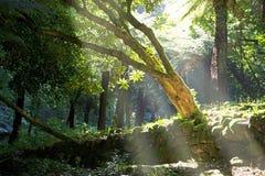 有光束的森林 库存照片