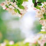 有光滑的bokeh的开花的苹果树开花 免版税库存图片