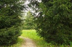 有公园的道路 绿色云杉 库存照片
