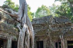 有关闭的Ta Prohm寺庙巨型榕树 免版税库存图片