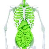 有内脏的人的骨骼 包含裁减路线 免版税库存照片