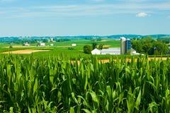 有农场的玉米田在背景中 免版税库存图片