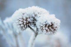 冻植物 免版税库存照片