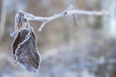 有冰的冻结叶子 库存照片