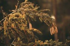 有冷杉球果的棍子在森林 图库摄影