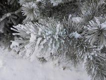 有冷杉的森林在与结霜的针的冬天 库存图片