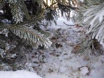 有冷杉的森林在与结霜的针的冬天 免版税库存照片