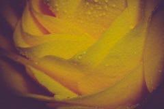 有减速火箭的小滴的黄色罗斯 免版税库存照片
