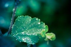 有几滴雨珠的湿叶子 库存图片