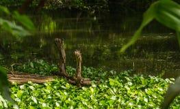 有凤眼兰的木码头 免版税库存图片