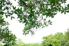 有分支的热带树叶子在白色被隔绝的背景 免版税库存照片