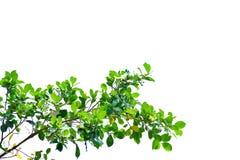 有分支的热带树叶子在白色被隔绝的背景 图库摄影