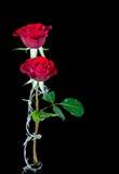 有刺的红色玫瑰电汇 免版税库存照片