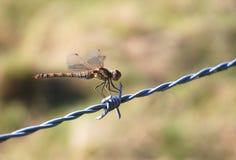 有刺的蜻蜓电汇 库存照片